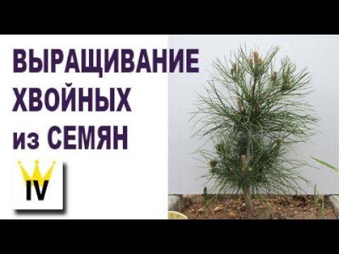 Выращивание хвойных растений из семян, сосна, кедр, кипарис, ель. Озеленение.