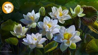 Nhạc Thiền Tĩnh Tâm - Nhạc Thiền Giúp bạn có những phút giây thư giãn thoải mái an lạc ngủ ngon hơn