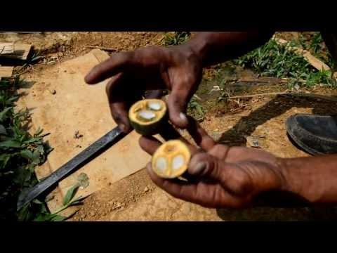 Video proses pengolahan kolang kaling