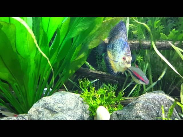 225 discus & shrimp planted aquarium!