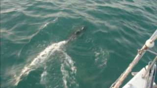 preview picture of video 'Mustang 30 Mk II with Dolphins in Bahrain'