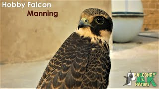 Hobby Falcon: Training & Manning