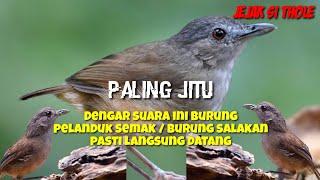 Suara pikat burung pelanduk semak salakan paling uh sejagat...