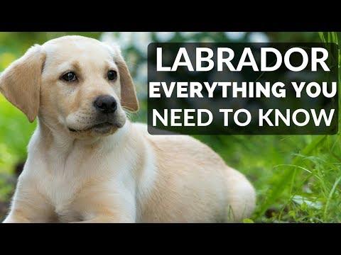 Labrador Retriever - Everything You Need To Know About Owning a Labrador Retriever Puppy