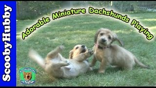 Adorable Miniature Dachshunds Playing