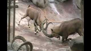 preview picture of video 'Ibex Fighting...'