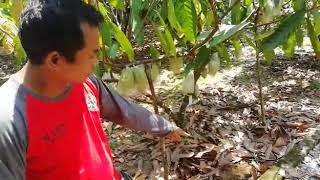 Tips dan Teknik Agar Buah Kakao Tidak Terkena Hama Penggerek Buah Kakao (PBK)