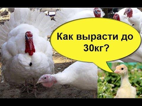 , title : 'КАК ПРАВИЛЬНО КОРМИТЬ ИНДЮШАТ, чтобы они  выросли  до  30 кг