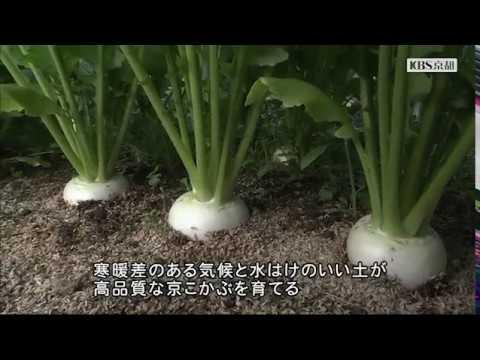 KBS京都テレビ 「あぐり京都」 京こかぶ 新谷さん(京都市右京区京北) 2016年11月放送