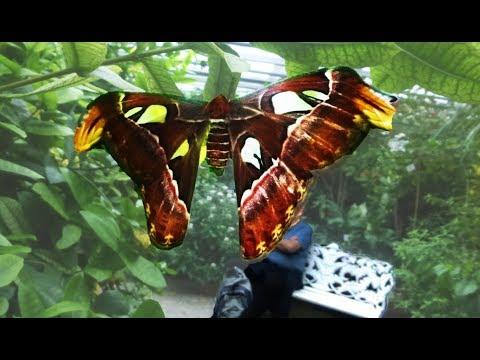 Schmetterlingshaus Mainau Ƹ̴Ӂ̴Ʒ  - größtes Schmetterlingshaus Deutschland Teil I / Bodensee