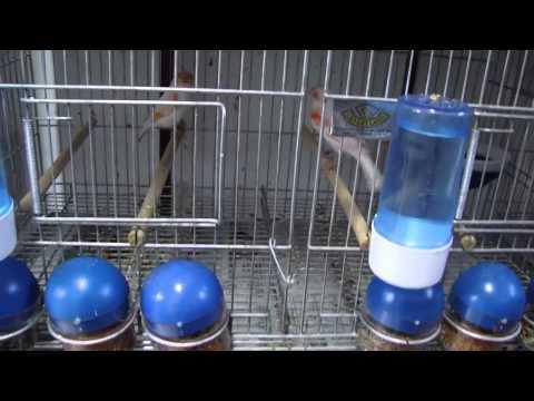 Video Tips Cara Ternak Burung Kenari Dengan Kandang Khusus