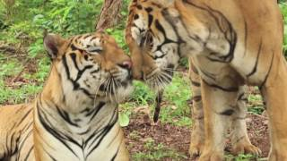 Help us help the Tiger Temple tigers!