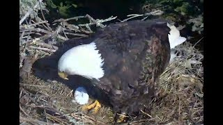 First egg arrives for Sauces Eagles. 14.54 / 05 February 2019
