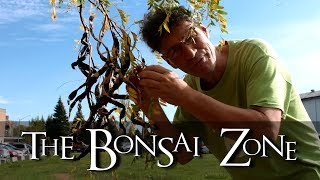 The Bonsai Zone, Growing Bonsai From Seeds, Part One, Collecting, Oct 2017