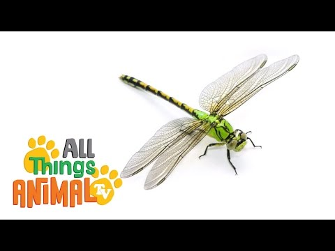 DRAGONFLY | Animals for children.
