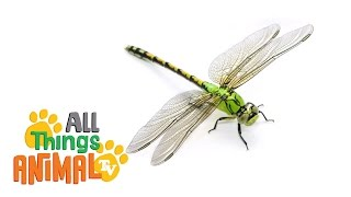 * DRAGONFLY * | Animals For Kids | All Things Animal TV
