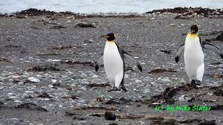 King Penguins (Full size video)