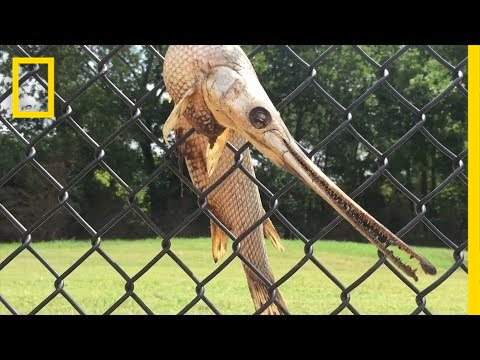 How Freaky, Prehistoric Fish Got Trapped in a Fence   National Geographic thumbnail