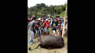PANGKALAN JAMBU Acara Pembantaian Kerbau