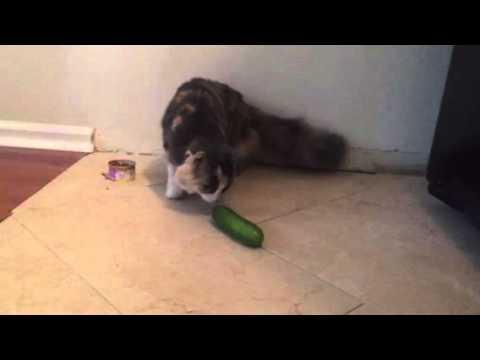 , title : 'Brave Cat Masha