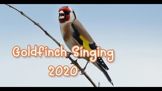 Goldfinch Singing For Training - Suara Burung 2020