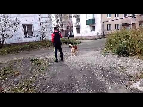 На острове Сахалин по городу Макаров гулял медведь