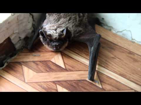 Если в дом залетела летучая мышь