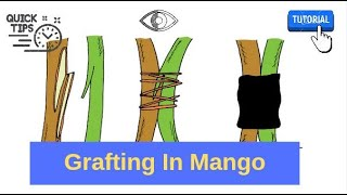 Grafting In Mango Tree ! Inarching ! Vegetative Propagation In Mango By Nepali Agriboy.