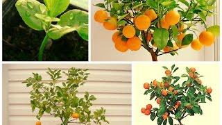 Как вырастить мандарин из косточки в домашних условиях видео