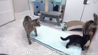 Feral mama cats playing together for the first time!  Nelia & Serenity - TinyKittens.com