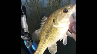 Is that a largemouth or a spotted bass?