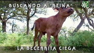 Becerrita Brava Ciega De Reservatauro Se Guía Por El Olfato | Toros Desde Andalucía