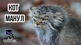 Манул степной дикий кот – интересные факты