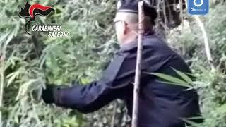 piantagione-di-marijuana-scoperta-tra-i-limoni-della-costiera