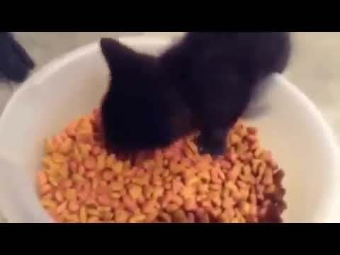 Kitten says nom nom nom while eating