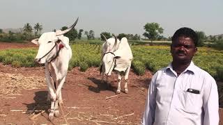 A Passionate Bullock Cart Racer   Krishna Lokapur