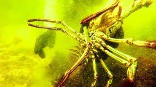 Video Huge Lobster {Catch Clean Cook} IN SOUTH DAKOTA!!! MP3, 3GP, MP4, WEBM, AVI, FLV Agustus 2019
