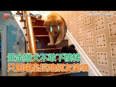 外國黃金獵犬不敢下樓梯!原因竟然是因為一隻黑貓!?