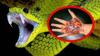 Ловля ядовитых змей очень опасная