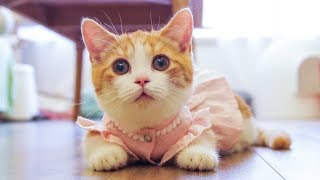 [Cat Live] Dressing my cats up in Princess and Japanese Style