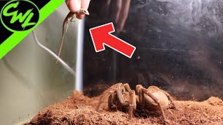 GIANT SPIDER EATS LIZARD!