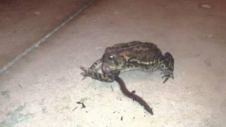 Toad eating huge Night Crawler