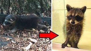Девушка спасла упавшего с дерева и брошенного матерью, малыша енота.