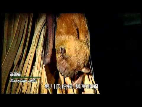 蝠至星林 林務局南投林區管理處蝙蝠群像