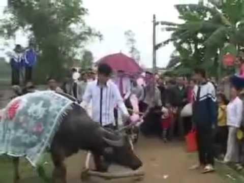 Đám cưới siêu vip rước dâu bằng xe trâu, bò tại Nghệ An