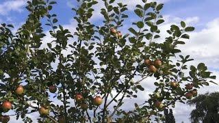 Äpfel und Birnen Obstgarten Rosenweide