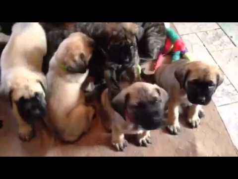 English Mastiffs saying hello