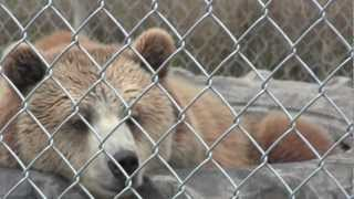 preview picture of video 'Bear Path Acres - Brown Bear Shug'
