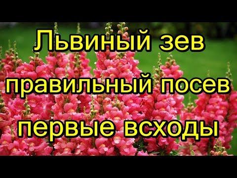 🌺#Львиный зев. Правильный посев семян. Первые всходы.