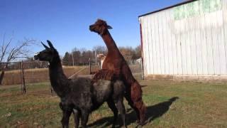 llama and alpaca walk as they 'mate' Addie Acres